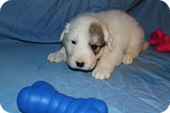 Great Pyrenees Mix Puppy for Sale in Stilwell, Oklahoma - Sawyer