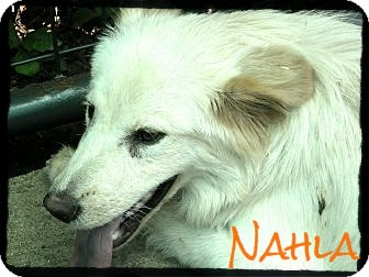 Golden Retriever Mix Puppy for adption in anywhere, New Hampshire - Nahla *Reduced Adoption Fee*