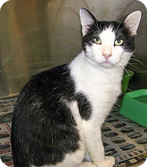 Domestic Shorthair Cat for adoption in Howell, Michigan - Sterling