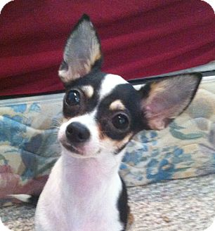 Rat Terrier/Chihuahua Mix Dog for Sale in Studio City, California - Lillie (4 lbs)