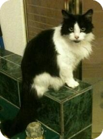 Domestic Longhair Cat for adoption in San Antonio, Texas - Oreo