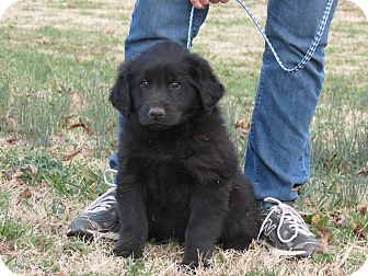 Newfoundland/Labrador Retriever Mix Puppy for Sale in Glastonbury, Connecticut - Trigger~adopted~
