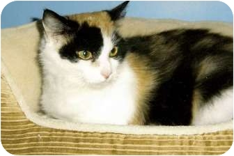 Calico Cat for Sale in Medway, Massachusetts - Rosie