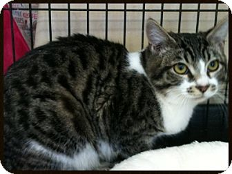Domestic Shorthair Kitten for adoption in Orange, California - Billy Marble