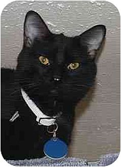 Domestic Shorthair Cat for adoption in Clovis, New Mexico - Zorro