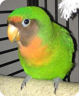 Lovebird for Sale in Tampa, Florida - Cheep
