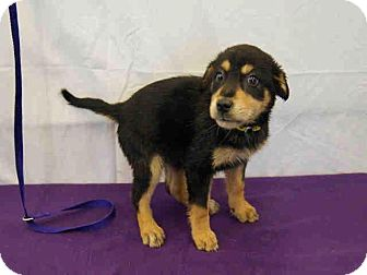 Rottweiler Mix Puppy for Sale in Oldsmar, Florida - Iris