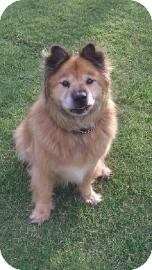 Chow Chow Mix Dog for adption in Tucson, Arizona - Harley