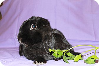 Lop-Eared Mix for adoption in Garland, Texas - Licorice