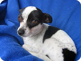 Rat Terrier Mix Dog for Sale in Irvine, California - Aiko-WATCH MY VIDEO!!!