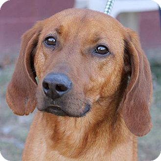 Redbone Coonhound Mix Dog for Sale in Springfield, Illinois - Riley