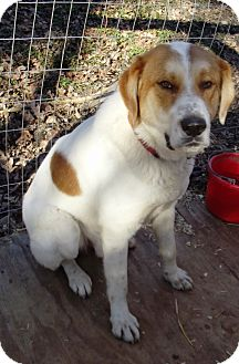 St. Bernard Mix Dog for Sale in Morgantown, West Virginia - Buster