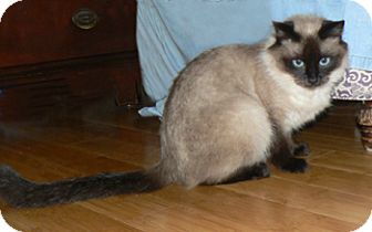 Ragdoll Cat for Sale in Vacaville, California - Malia