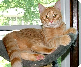 Domestic Shorthair Cat for Sale in Chattanooga, Tennessee - Willie