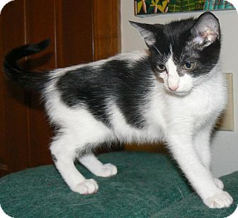 Domestic Shorthair Cat for adoption in Apex, North Carolina - Ansel