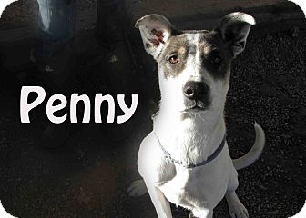 Pointer Mix Dog for Sale in Hamilton, Montana - Penny