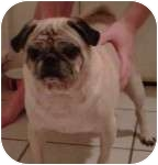 Pug Mix Dog for adption in Windermere, Florida - Rufus