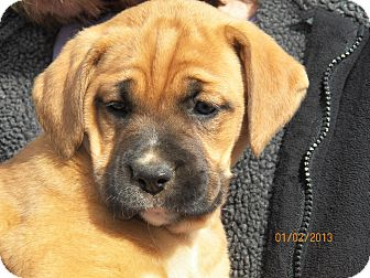 Boxer/Labrador Retriever Mix Puppy for Sale in Sussex, New Jersey - Darcy
