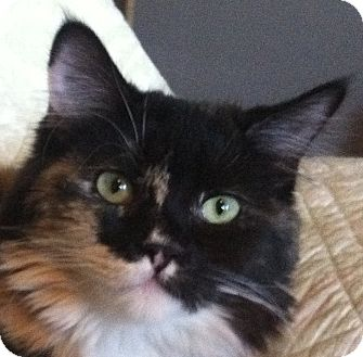 Domestic Longhair Kitten for Sale in Winchester, California - Calico Group