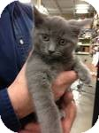 Domestic Shorthair Kitten for Sale in Pittstown, New Jersey - Prudence