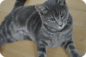 Domestic Shorthair Kitten for Sale in Speonk, New York - Cece