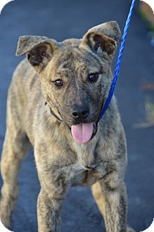 Dutch Shepherd/German Shepherd Dog Mix Puppy for Sale in Glastonbury, Connecticut - Sarah Ashley~meet me~