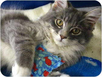 Domestic Mediumhair Kitten for adoption in Richmond Hill, Ontario - Gucci