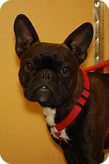 French Bulldog/Boston Terrier Mix Dog for Sale in London, Kentucky - Po