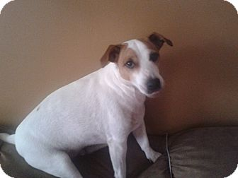 Jack Russell Terrier/Jack Russell Terrier Mix Dog for Sale in Emsdale (Huntsville), Ontario - Jitters - Loyal and Loving!