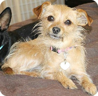 Terrier (Unknown Type, Small)/Chihuahua Mix Dog for Sale in Bellflower, California - Gypsy-5 lbs
