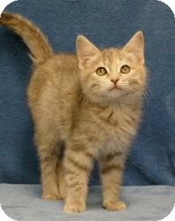 Domestic Shorthair Cat for Sale in Sacramento, California - CarrieAnn