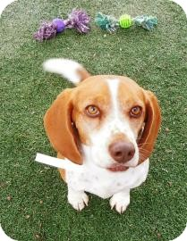 Beagle Mix Dog for Sale in Phoenix, Arizona - Paprika