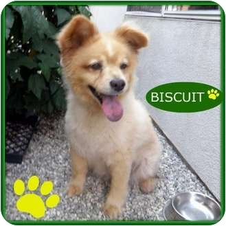 Chow Chow/Pomeranian Mix Dog for adption in Studio City, California - Buscuit
