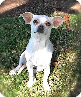Chihuahua Mix Dog for Sale in El Cajon, California - Magnolia
