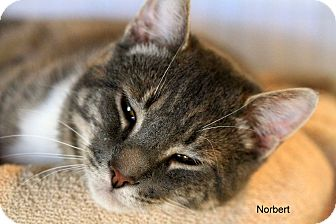 Domestic Shorthair Cat for Sale in Gaithersburg, Maryland - Norbert