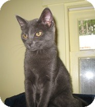 Domestic Shorthair Kitten for adoption in Shelton, Washington - Hollyday