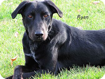 Labrador Retriever Mix Dog for Sale in Hamilton, Montana - Ryan