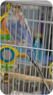 Budgie for Sale in Shawnee Mission, Kansas - Rain