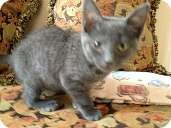 Domestic Mediumhair Kitten for Sale in East Hanover, New Jersey - Aqua Girl