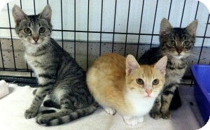 Domestic Shorthair Kitten for Sale in Red Bluff, California - Presley