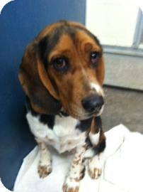 Beagle Mix Dog for adption in Phoenix, Arizona - Chip