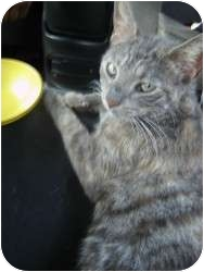 Domestic Shorthair Cat for adoption in Cleveland, Ohio - Journi