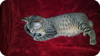 Manx Kitten for Sale in Simpsonville, South Carolina - Josh