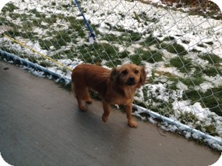 Dachshund Mix Dog for Sale in Seattle, Washington - Goldie