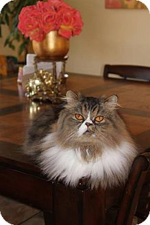Persian Cat for adoption in Beverly Hills, California - Furby