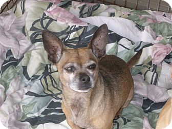 French Bulldog/Chihuahua Mix Dog for adoption in Las Vegas, Nevada ...