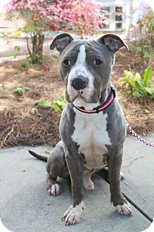 American Pit Bull Terrier Mix Dog for Sale in Snellville, Georgia - Bruster
