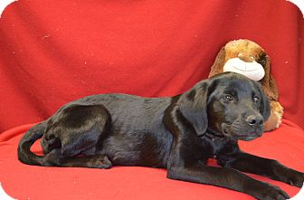Labrador Retriever Mix Dog for Sale in New cumberland, West Virginia - Harla