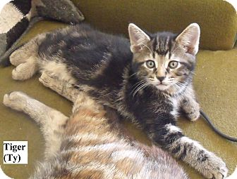 Domestic Shorthair Kitten for Sale in Emsdale (Huntsville), Ontario - Tiger (Ty) - Born in May!