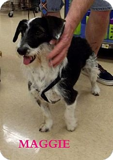Fox Terrier (Wirehaired) Dog for adption in Silsbee TX, Texas - Maggie